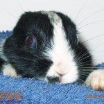 Veterinario de conejos
